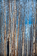 Pine Metal Prints - Scarred Pines Yellowstone Metal Print by Steve Gadomski