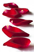 Scattered Rose Petals Print by Zoe Ferrie