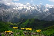 Bernese Photos - Scenic Of Swiss Alps With Yellow Arnica by Anne Keiser