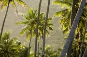 Marquesas Islands Prints - Scenic View Of Backlit Coconut Palm Print by Tim Laman