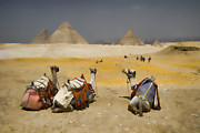 Historic Site Prints - Scenic view of the Giza Pyramids with sitting camels Print by David Smith