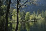 Woodland Scenes Prints - Scenic View Of The Merced River Print by Marc Moritsch