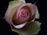 Macro Floral Photos Posters - Scent of a Rose Poster by Artecco Fine Art Photography - Photograph by Nadja Drieling