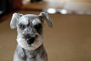 Puppy Metal Prints - Schnauzer Puppy Metal Print by Ugopapa