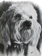 Mutt Drawings - Schnoodle by Barbara Keith