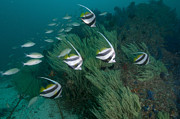 Oman Prints - School Of Bannerfish, Musandam, Dibba Print by Mathieu Meur