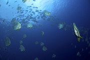 Ephippidae Photos - School Of Batfish, Christmas Island by Mathieu Meur