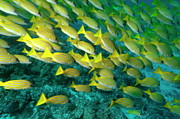 Schools Metal Prints - School of blue stripe snapper Metal Print by Sami Sarkis