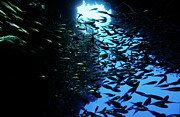 Swimming Fish Photos - School of Glass fish in an underwater cave by Sami Sarkis