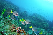 School Of Razor Surgeonfish On Rocky Seabed Print by Sami Sarkis