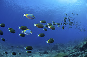 Color Stretching Posters - School Of Surgeonfish, Christmas Poster by Mathieu Meur