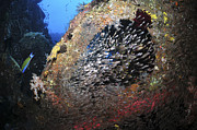 Swimming Fish Photos - School Of Sweeper Glass Fish On Liberty by Mathieu Meur