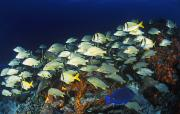 Tropical Fish Posters - School Of Tropical Fish In The Caribbean Poster by Carson Ganci