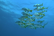School Of Yellowtail Grunt Underwater Print by Sami Sarkis