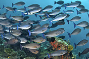 Y120831 Art - Schooling Sleek Unicornfish (surgeonfish) by Jones/Shimlock-Secret Sea Visions