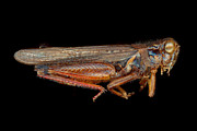 Cricket Art - Science - Entomology - The specimin by Mike Savad