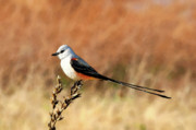 Flycatcher Metal Prints - Scissor-tailed Flycatcher Metal Print by Betty LaRue