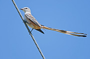 Flycatcher Posters - Scissor-tailed Flycatcher Poster by Bonnie Barry