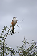 Rural Digital Art Prints - Scissor Tailed Flycatcher Print by Melany Sarafis