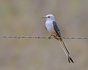 Flycatcher Metal Prints - Scissor-tailed Flycatcher Metal Print by Tony Beck