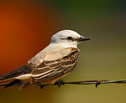 Flycatcher Photos - Scissortail Close-up by Robert Frederick