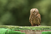 Full-length Framed Prints - Scops Oowl Framed Print by João Pedro Neves