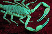 Featured Art - Scorpion Glows In Uv Light Costa Rica by Piotr Naskrecki
