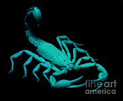 Arachnid Framed Prints - Scorpion On Ultraviolet Light Framed Print by Raul Gonzalez Perez