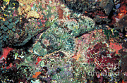 Featured Art - Scorpionfish by Gregory G. Dimijian