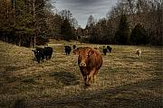 Livestock Digital Art - Scotopic Vision 9 - Cows Come Home by Pete Hellmann