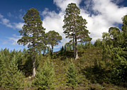 Pinus Framed Prints - Scots Pine (pinus Sylvestris) Framed Print by Bob Gibbons