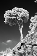 Infrared Photos - Scots Pine Tree by Taken by Timothy Ball