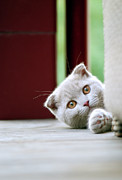 Looking At Camera Art - Scottish Fold Kitten On Balcony by Photos of Linda Gavin