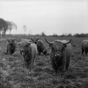 Square Tapestries Textiles - Scottish Highland Cattle On Field by Stephan Ohlsen