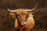 Brown Hair Posters - Scottish Moo Coo - Scottish Highland cattle Poster by Christine Till