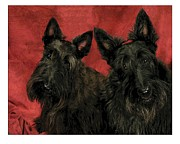 Scottish Terrier Digital Art - Scottish Terrier - Scotties 307 by Larry Matthews