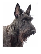 Scottish Terrier Digital Art - Scottish Terrier - Scotty 184 by Larry Matthews