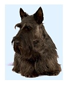 Scottish Terrier Digital Art - Scottish Terrier - Scotty 34 by Larry Matthews