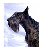Scottish Terrier Digital Art - Scottish Terrier - Scotty 348 by Larry Matthews