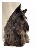 Scottish Terrier Digital Art - Scottish Terrier - Scotty 564 by Larry Matthews
