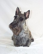 Scottish Terrier Digital Art - Scottish Terrier - Scotty 669 by Larry Matthews