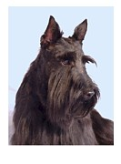 Scottish Terrier Digital Art - Scottish Terrier - Scotty 862 by Larry Matthews