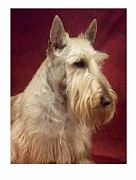 Scottish Terrier Digital Art - Scottish Terrier - Scotty 94 by Larry Matthews