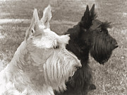 White Dogs Framed Prints - Scottish Terrier Dogs in Sepia Framed Print by Jennie Marie Schell