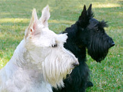 Terriers Posters - Scottish Terrier Dogs Poster by Jennie Marie Schell