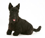 Scottish Terrier Prints - Scottish Terrier Print by Jane Burton