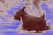 Scottish Terrier Digital Art - Scotty on the Run by Donna G Smith