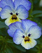 Scowl Prints - Scowling Pansies Print by Sean Griffin