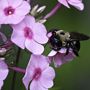 Phlox Metal Prints - Scratch That Itch Metal Print by Teresa Mucha