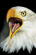 Screaming Prints - Screaming Eagle Portrait Print by Artur Bogacki